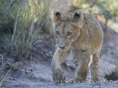 South Africa, wildlife, safari, photo safari, photo tour, photographic safari, photographic tour, photo workshop, wildlife photography, 50 safaris, 50 photographic safaris, kurt jay bertels, lion, cub