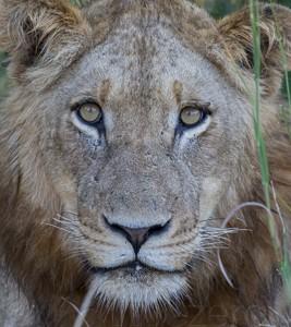 South Africa, wildlife, safari, photo safari, photo tour, photographic safari, photographic tour, photo workshop, wildlife photography, 50 safaris, 50 photographic safaris, kurt jay bertels, lion, cub, male, young