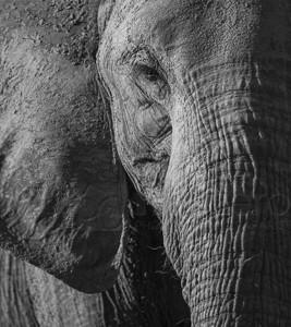 South Africa, wildlife, safari, photo safari, photo tour, photographic safari, photographic tour, photo workshop, wildlife photography, 50 safaris, 50 photographic safaris, kurt jay bertels, elephant,