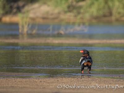 South Africa, wildlife, safari, photo safari, photo tour, photographic safari, photographic tour, photo workshop, wildlife photography, 50 safaris, 50 photographic safaris, kurt jay bertels, bateleur, eagle, drinking