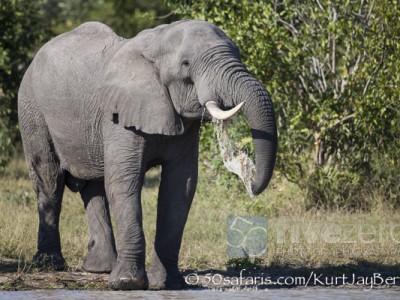 South Africa, wildlife, safari, photo safari, photo tour, photographic safari, photographic tour, photo workshop, wildlife photography, 50 safaris, 50 photographic safaris, kurt jay bertels, elephant, drinking, male