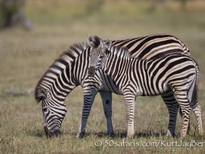 South Africa, wildlife, safari, photo safari, photo tour, photographic safari, photographic tour, photo workshop, wildlife photography, 50 safaris, 50 photographic safaris, kurt jay bertels, zebra, calf, foal