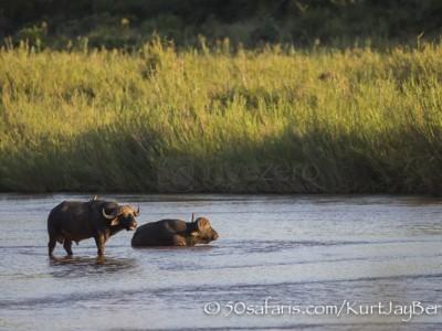 South Africa, wildlife, safari, photo safari, photo tour, photographic safari, photographic tour, photo workshop, wildlife photography, 50 safaris, 50 photographic safaris, kurt jay bertels, buffalo, male, river, water