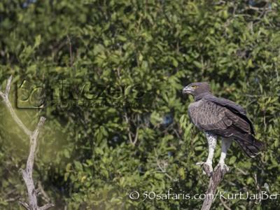 South Africa, wildlife, safari, photo safari, photo tour, photographic safari, photographic tour, photo workshop, wildlife photography, 50 safaris, 50 photographic safaris, kurt jay bertels, marshall eagle, eagle
