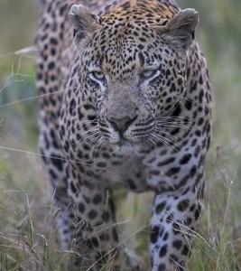 South Africa, wildlife, safari, photo safari, photo tour, photographic safari, photographic tour, photo workshop, wildlife photography, 50 safaris, 50 photographic safaris, kurt jay bertels, leopard, male