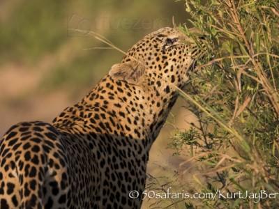 South Africa, wildlife, safari, photo safari, photo tour, photographic safari, photographic tour, photo workshop, wildlife photography, 50 safaris, 50 photographic safaris, kurt jay bertels, leopard, male, sniffing