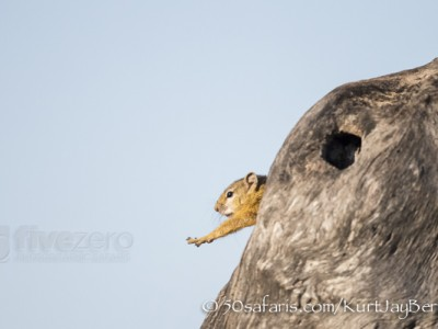 South Africa, wildlife, safari, photo safari, photo tour, photographic safari, photographic tour, photo workshop, wildlife photography, 50 safaris, 50 photographic safaris, kurt jay bertels, tree squirrel