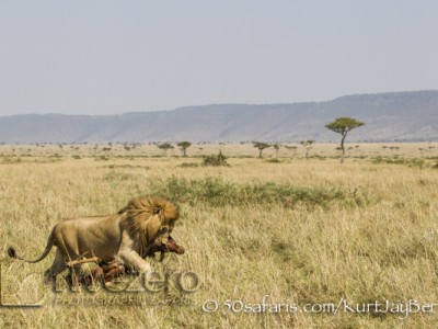 Kenya, great migration, migration, kill, wildebeest, calendar, crocodile, when to go, best, wildlife, safari, photo safari, photo tour, photographic safari, photographic tour, photo workshop, wildlife photography, 50 safaris, 50 photographic safaris, kurt jay bertels, lion, large, male, dragging, topi, kill