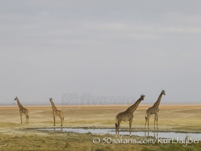 Kenya, great migration, migration, kill, wildebeest, calendar, crocodile, when to go, best, wildlife, safari, photo safari, photo tour, photographic safari, photographic tour, photo workshop, wildlife photography, 50 safaris, 50 photographic safaris, kurt jay bertels, amboseli, amboseli national park, giraffe, masai giraffe, kenyan giraffe