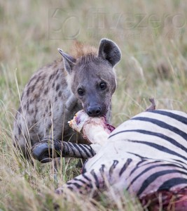 Kenya, great migration, migration, kill, wildebeest, calendar, crocodile, when to go, best, wildlife, safari, photo safari, photo tour, photographic safari, photographic tour, photo workshop, wildlife photography, 50 safaris, 50 photographic safaris, kurt jay bertels, spotted hyaena, feeding, kill, zebra