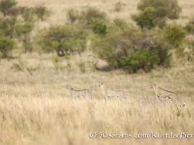 Kenya, great migration, migration, kill, wildebeest, calendar, crocodile, when to go, best, wildlife, safari, photo safari, photo tour, photographic safari, photographic tour, photo workshop, wildlife photography, 50 safaris, 50 photographic safaris, kurt jay bertels, cheetah, hunting, coalition, mother and cubs, sub-adult