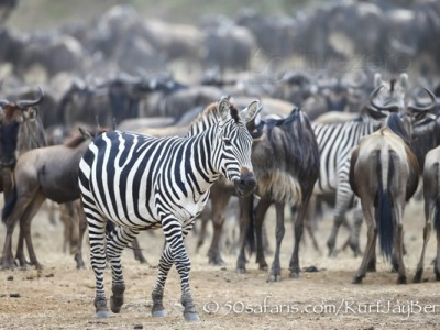 Kenya, great migration, migration, kill, wildebeest, calendar, crocodile, when to go, best, wildlife, safari, photo safari, photo tour, photographic safari, photographic tour, photo workshop, wildlife photography, 50 safaris, 50 photographic safaris, kurt jay bertels, zebra, wildebeest, migration, herd