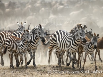 Kenya, great migration, migration, kill, wildebeest, calendar, crocodile, when to go, best, wildlife, safari, photo safari, photo tour, photographic safari, photographic tour, photo workshop, wildlife photography, 50 safaris, 50 photographic safaris, kurt jay bertels, zebra, running, dust, stampede