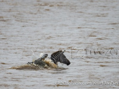 Kenya, great migration, migration, kill, wildebeest, calendar, crocodile, when to go, best, wildlife, safari, photo safari, photo tour, photographic safari, photographic tour, photo workshop, wildlife photography, 50 safaris, 50 photographic safaris, kurt jay bertels, zebra, kill, crocodile, attack