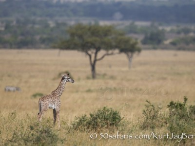 Kenya, great migration, migration, kill, wildebeest, calendar, crocodile, when to go, best, wildlife, safari, photo safari, photo tour, photographic safari, photographic tour, photo workshop, wildlife photography, 50 safaris, 50 photographic safaris, kurt jay bertels, baby, giraffe
