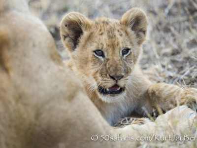 Kenya, great migration, migration, kill, wildebeest, calendar, crocodile, when to go, best, wildlife, safari, photo safari, photo tour, photographic safari, photographic tour, photo workshop, wildlife photography, 50 safaris, 50 photographic safaris, kurt jay bertels, lion, cub, cute