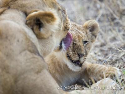 Kenya, great migration, migration, kill, wildebeest, calendar, crocodile, when to go, best, wildlife, safari, photo safari, photo tour, photographic safari, photographic tour, photo workshop, wildlife photography, 50 safaris, 50 photographic safaris, kurt jay bertels, lion, cub, cute