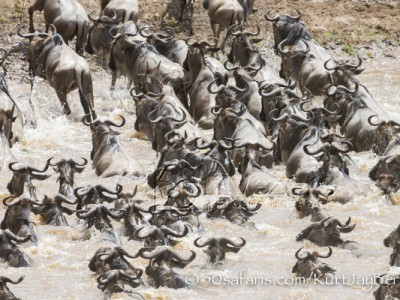 Kenya, great migration, migration, kill, wildebeest, calendar, crocodile, when to go, best, wildlife, safari, photo safari, photo tour, photographic safari, photographic tour, photo workshop, wildlife photography, 50 safaris, 50 photographic safaris, kurt jay bertels, wildebeest, crossing, river,