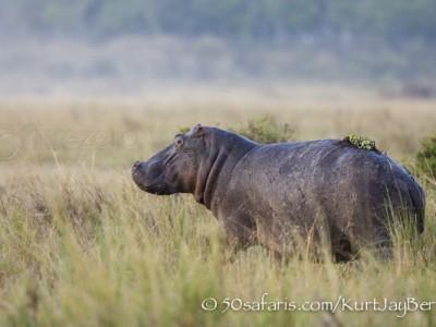 Kenya, great migration, migration, kill, wildebeest, calendar, crocodile, when to go, best, wildlife, safari, photo safari, photo tour, photographic safari, photographic tour, photo workshop, wildlife photography, 50 safaris, 50 photographic safaris, kurt jay bertels, hippo, dangerous