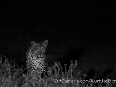 Kenya, great migration, migration, kill, wildebeest, calendar, crocodile, when to go, best, wildlife, safari, photo safari, photo tour, photographic safari, photographic tour, photo workshop, wildlife photography, 50 safaris, 50 photographic safaris, kurt jay bertels, leopard, night, dark
