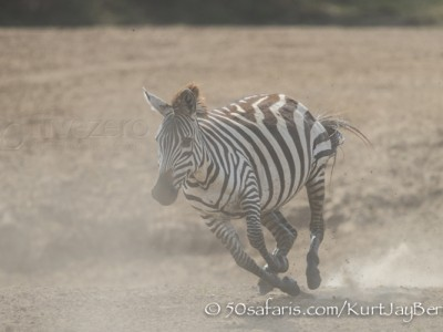 Kenya, great migration, migration, kill, wildebeest, calendar, crocodile, when to go, best, wildlife, safari, photo safari, photo tour, photographic safari, photographic tour, photo workshop, wildlife photography, 50 safaris, 50 photographic safaris, kurt jay bertels, zebra, running, dust