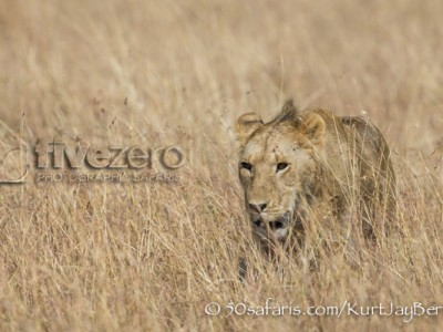 Kenya, great migration, migration, kill, wildebeest, calendar, crocodile, when to go, best, wildlife, safari, photo safari, photo tour, photographic safari, photographic tour, photo workshop, wildlife photography, 50 safaris, 50 photographic safaris, kurt jay bertels, lion, male, young, sub-adult