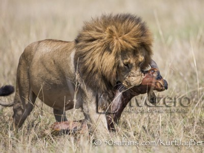 Kenya, great migration, migration, kill, wildebeest, calendar, crocodile, when to go, best, wildlife, safari, photo safari, photo tour, photographic safari, photographic tour, photo workshop, wildlife photography, 50 safaris, 50 photographic safaris, kurt jay bertels, lion, large, male, dragging, kill, topi