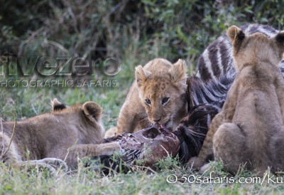 Kenya, great migration, migration, kill, wildebeest, calendar, crocodile, when to go, best, wildlife, safari, photo safari, photo tour, photographic safari, photographic tour, photo workshop, wildlife photography, 50 safaris, 50 photographic safaris, kurt jay bertels, lion cub, lion, eating, zebra, kill