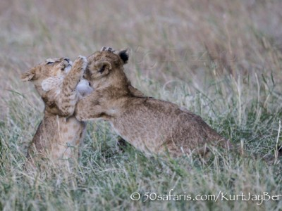 Kenya, great migration, migration, kill, wildebeest, calendar, crocodile, when to go, best, wildlife, safari, photo safari, photo tour, photographic safari, photographic tour, photo workshop, wildlife photography, 50 safaris, 50 photographic safaris, kurt jay bertels, lion cub, playing, fighting, lion