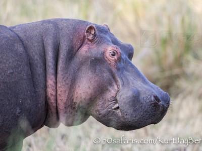 Kenya, great migration, migration, kill, wildebeest, calendar, crocodile, when to go, best, wildlife, safari, photo safari, photo tour, photographic safari, photographic tour, photo workshop, wildlife photography, 50 safaris, 50 photographic safaris, kurt jay bertels, hippo, hippopotamus
