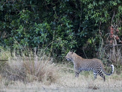 Kenya, great migration, migration, kill, wildebeest, calendar, crocodile, when to go, best, wildlife, safari, photo safari, photo tour, photographic safari, photographic tour, photo workshop, wildlife photography, 50 safaris, 50 photographic safaris, kurt jay bertels, leopard, female, hunting