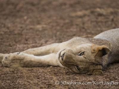 Kenya, great migration, migration, kill, wildebeest, calendar, crocodile, when to go, best, wildlife, safari, photo safari, photo tour, photographic safari, photographic tour, photo workshop, wildlife photography, 50 safaris, 50 photographic safaris, kurt jay bertels, amboseli, amboseli national park, lion, sleeping, dry lake bed