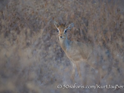 Kenya, great migration, migration, kill, wildebeest, calendar, crocodile, when to go, best, wildlife, safari, photo safari, photo tour, photographic safari, photographic tour, photo workshop, wildlife photography, 50 safaris, 50 photographic safaris, kurt jay bertels, amboseli, amboseli national park, dik-dik, dik dik, kirks dik-dik, small antelope