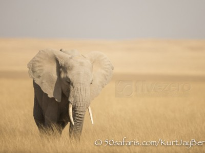 Kenya, great migration, migration, kill, wildebeest, calendar, crocodile, when to go, best, wildlife, safari, photo safari, photo tour, photographic safari, photographic tour, photo workshop, wildlife photography, 50 safaris, 50 photographic safaris, kurt jay bertels, amboseli, amboseli national park, elephant, young, male