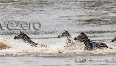 Kenya, great migration, migration, kill, wildebeest, calendar, crocodile, when to go, best, wildlife, safari, photo safari, photo tour, photographic safari, photographic tour, photo workshop, wildlife photography, 50 safaris, 50 photographic safaris, kurt jay bertels, crossing, wildebeest, zebra, mara river, crocodile, great migration, zebra crossing