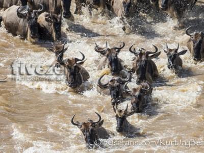 Kenya, great migration, migration, kill, wildebeest, calendar, crocodile, when to go, best, wildlife, safari, photo safari, photo tour, photographic safari, photographic tour, photo workshop, wildlife photography, 50 safaris, 50 photographic safaris, kurt jay bertels, crossing, wildebeest, zebra, mara river, crocodile, great migration