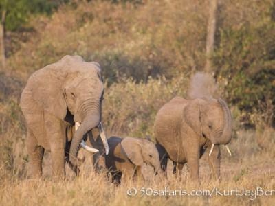 Kenya, great migration, migration, kill, wildebeest, calendar, crocodile, when to go, best, wildlife, safari, photo safari, photo tour, photographic safari, photographic tour, photo workshop, wildlife photography, 50 safaris, 50 photographic safaris, kurt jay bertels, elephant, baby, young, calf, dust bath