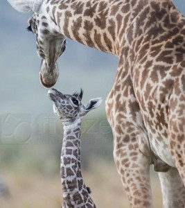 Kenya, great migration, migration, kill, wildebeest, calendar, crocodile, when to go, best, wildlife, safari, photo safari, photo tour, photographic safari, photographic tour, photo workshop, wildlife photography, 50 safaris, 50 photographic safaris, kurt jay bertels, masai giraffe, baby, young, calf, mother, giraffe