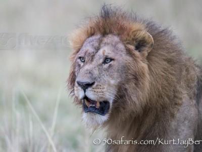 Kenya, great migration, migration, kill, wildebeest, calendar, crocodile, when to go, best, wildlife, safari, photo safari, photo tour, photographic safari, photographic tour, photo workshop, wildlife photography, 50 safaris, 50 photographic safaris, kurt jay bertels, lion, male, mane, large