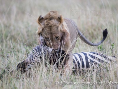 Kenya, great migration, migration, kill, wildebeest, calendar, crocodile, when to go, best, wildlife, safari, photo safari, photo tour, photographic safari, photographic tour, photo workshop, wildlife photography, 50 safaris, 50 photographic safaris, kurt jay bertels, male, lion, dragging, kill, zebra