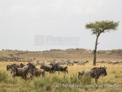 Kenya, great migration, migration, kill, wildebeest, calendar, crocodile, when to go, best, wildlife, safari, photo safari, photo tour, photographic safari, photographic tour, photo workshop, wildlife photography, 50 safaris, 50 photographic safaris, kurt jay bertels, wildebeest, building, zebra