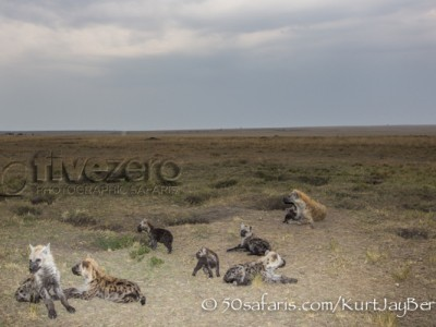 Kenya, great migration, migration, kill, wildebeest, calendar, crocodile, when to go, best, wildlife, safari, photo safari, photo tour, photographic safari, photographic tour, photo workshop, wildlife photography, 50 safaris, 50 photographic safaris, kurt jay bertels, hyaena, spotted hyaena, cub, pup, cute, den, den site