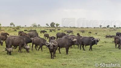 botswana, okavango delta, okavango, wilderness, wilderness safaris, calendar, when to go, best, wildlife, safari, photo safari, photo tour, photographic safari, photographic tour, photo workshop, wildlife photography, 50 safaris, 50 photographic safaris, kurt jay bertels, lion, kill, buffalo, relentless enemies, derek joubert, buffalo, herd, huge