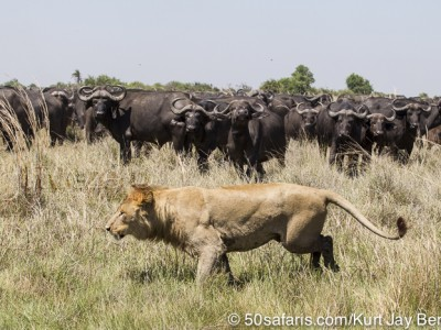 botswana, okavango delta, okavango, wilderness, wilderness safaris, calendar, when to go, best, wildlife, safari, photo safari, photo tour, photographic safari, photographic tour, photo workshop, wildlife photography, 50 safaris, 50 photographic safaris, kurt jay bertels, lion, kill, buffalo, relentless enemies, derek joubert, lioness, lion, kill, buffalo, hunt, male
