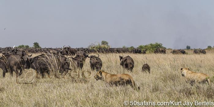 lioness Archives - Five Zero Safaris