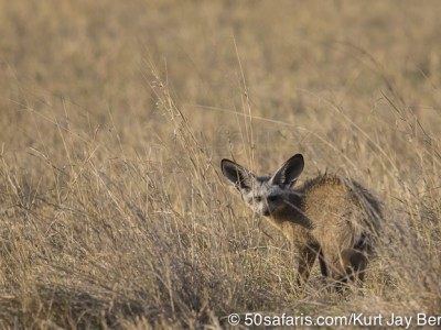 botswana, okavango delta, okavango, wilderness, wilderness safaris, calendar, when to go, best, wildlife, safari, photo safari, photo tour, photographic safari, photographic tour, photo workshop, wildlife photography, 50 safaris, 50 photographic safaris, kurt jay bertels, lion, kill, buffalo, relentless enemies, derek joubert, elephants, bat-eared fox, fox, bat eared fox