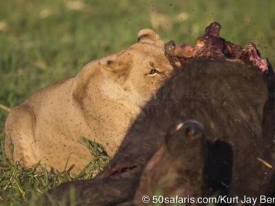 botswana, okavango delta, okavango, wilderness, wilderness safaris, calendar, when to go, best, wildlife, safari, photo safari, photo tour, photographic safari, photographic tour, photo workshop, wildlife photography, 50 safaris, 50 photographic safaris, kurt jay bertels, lion, kill, buffalo, relentless enemies, derek joubert, elephants,