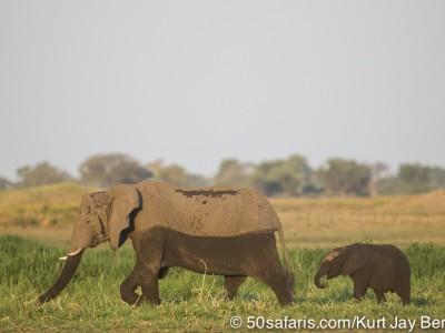 botswana, okavango delta, okavango, wilderness, wilderness safaris, calendar, when to go, best, wildlife, safari, photo safari, photo tour, photographic safari, photographic tour, photo workshop, wildlife photography, 50 safaris, 50 photographic safaris, kurt jay bertels, lion, kill, buffalo, relentless enemies, derek joubert, elephants, calf, mother and calf, swimming