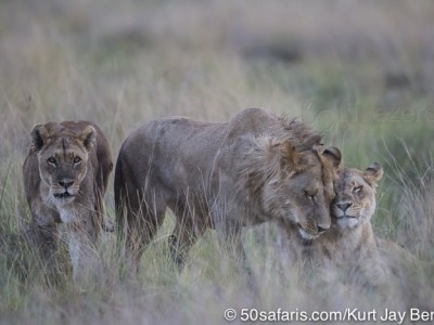 botswana, okavango delta, okavango, wilderness, wilderness safaris, calendar, when to go, best, wildlife, safari, photo safari, photo tour, photographic safari, photographic tour, photo workshop, wildlife photography, 50 safaris, 50 photographic safaris, kurt jay bertels, lion, kill, buffalo, relentless enemies, derek joubert, lions, playing, greeting, grooming