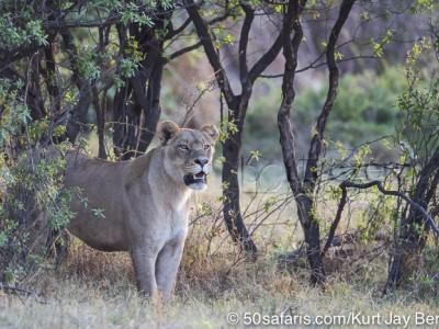 botswana, okavango delta, okavango, wilderness, wilderness safaris, calendar, when to go, best, wildlife, safari, photo safari, photo tour, photographic safari, photographic tour, photo workshop, wildlife photography, 50 safaris, 50 photographic safaris, kurt jay bertels, lion, kill, buffalo, relentless enemies, derek joubert, lioness, lion, hunting